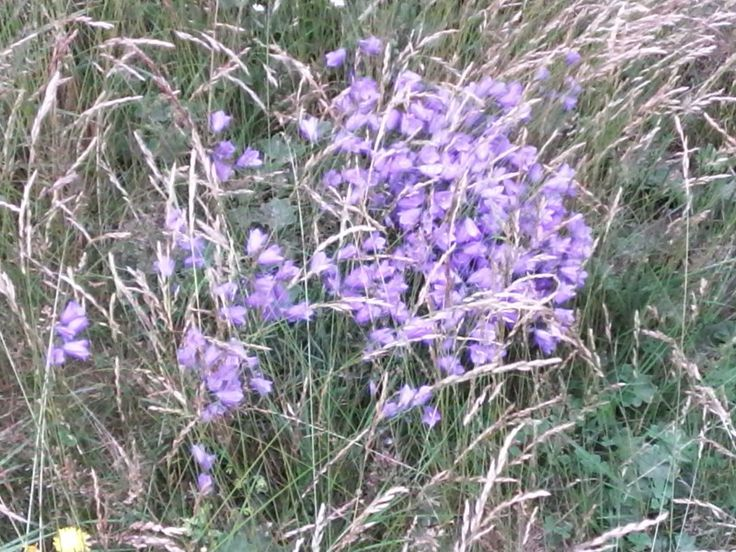 A bunch of bellflower