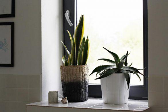 Sansiweria 3 Cactus Plants Plants Planters