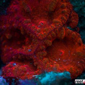 Blasstomussa coral in Sulawesi Indonesia #Blasstomussa #coral #coolcoral #coralreef #scubadiving #scuba