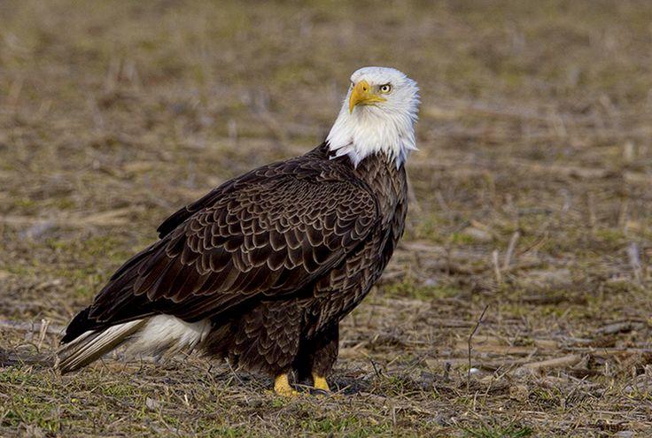 Bald Eagle Male www.hitchensphotography.com