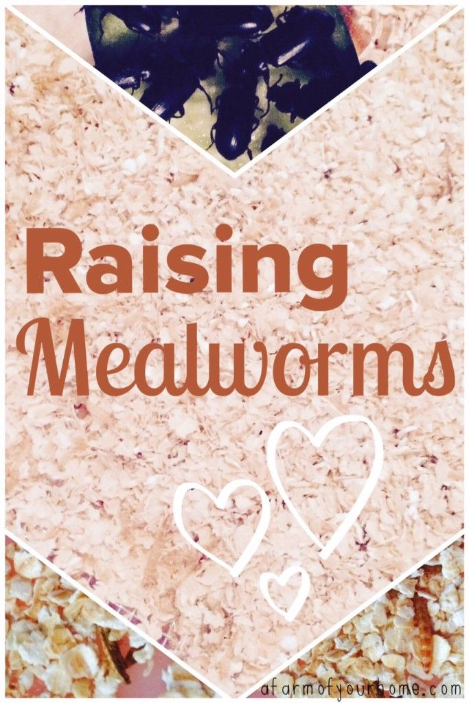Raising mealworms couldn 39 t be easier once your farm is for Mealworms for fishing