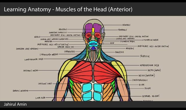Just giving myself a little refresher on a bit of anatomy using 3dtotals male anatomy figure. This is part 6 of 9 looking at the muscles of the head.  Muscles of interest: Frontalis, Procerus, Temporalis, Nasalis, Orbicularis oculi, Orbicularis oris, Mentalis, Zygomaticus major, Zygomaticus minor, Masseter, Depressor labii inferioris, Depressor anguli oris, node, Depressor supercilli, Levator labii superioris alaque nasi, Levator labii superioris, Sternohyoid, Omohyoid