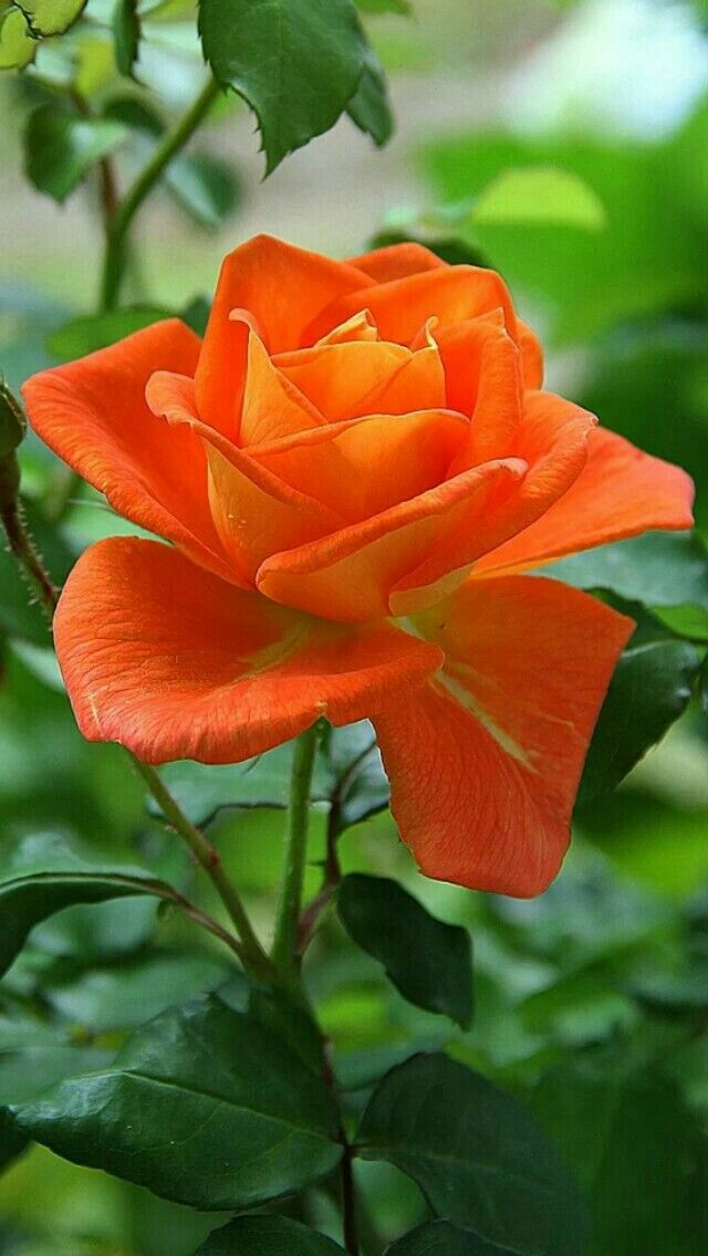 Bonita rosa anaranjada | Lovely orange rose - #flores #flowers #naturaleza #nature
