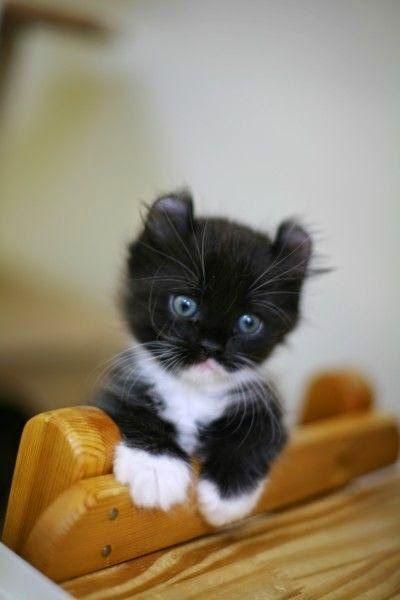 Top 5 Smallest Cat Breeds