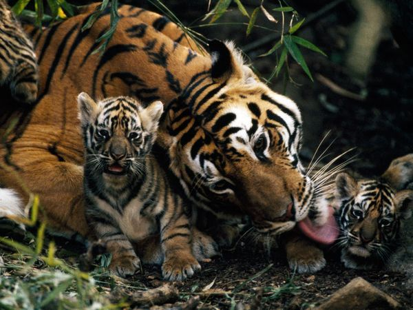 Tiger Mother and Cubs, Photograph by Michael Nichols    A Bengal tiger gives her cubs an early morning bath in India's Bandhavgarh National Park.