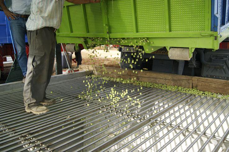 Descarga del camion en la Tolva de la Almazara. The truck in the chute of the mill discharge.