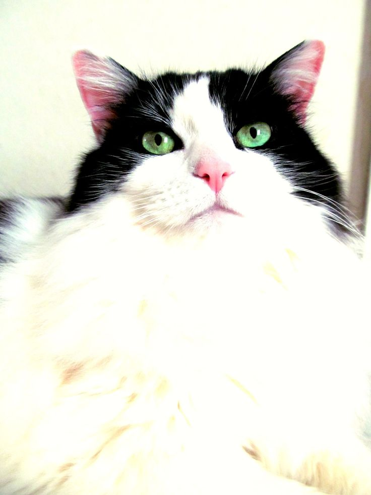 My Girl cat Groovy~♥ She is 11 this year. Such a beautiful girl. My super furry snuggle kitty!