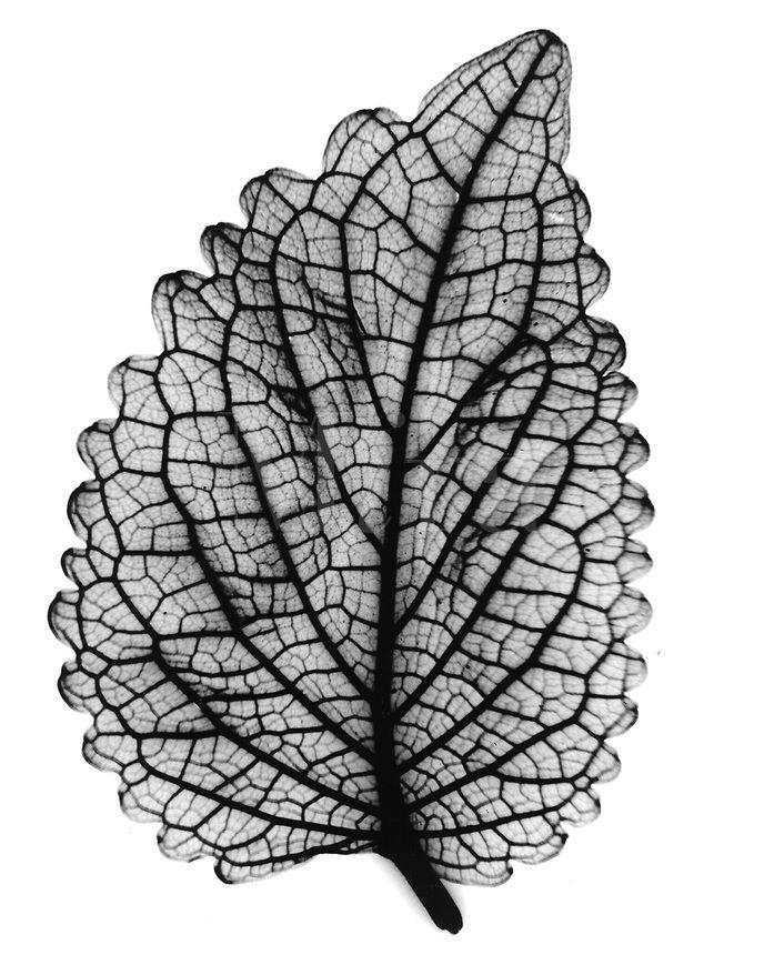 Xray coleus leaf
