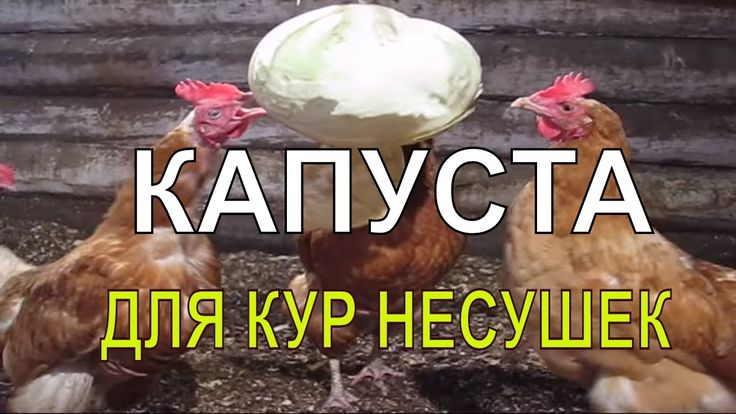 🎥 КАПУСТА СЫРАЯ ДЛЯ КУР несушек | Витамины для кур | Куры зимой / Chicke...
