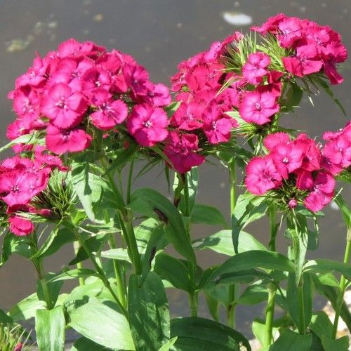 Dianthus Pink Beauty Flower Seeds (Dianthus Barbatus) 200+Seeds
