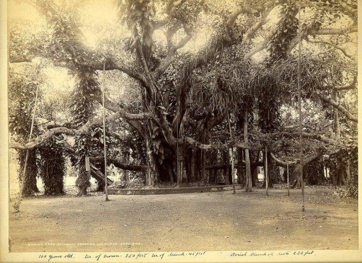 The Great Banyan Tree in the Botanical Garden of Acharya Jagadish Chandra Bose