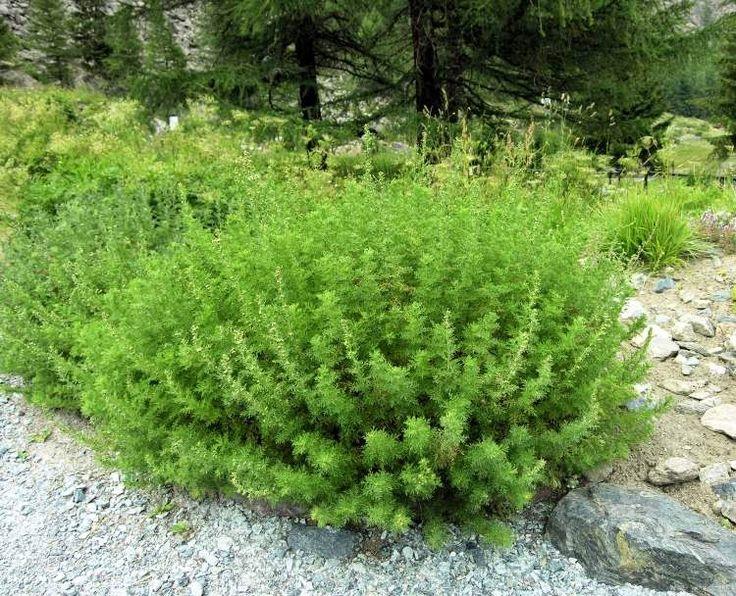 naturamorevole: Artemisia: Questa erba uccide il 98% del tumore in sole 16 ore! Ma nessuno ne parla!