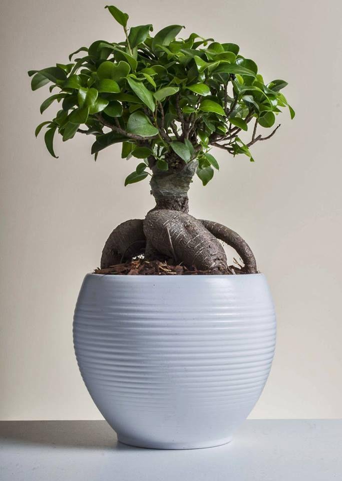 Bonsai Ficus Ginseng. L'eleganza, l'armonia e la forza di un piccolo grande albero.