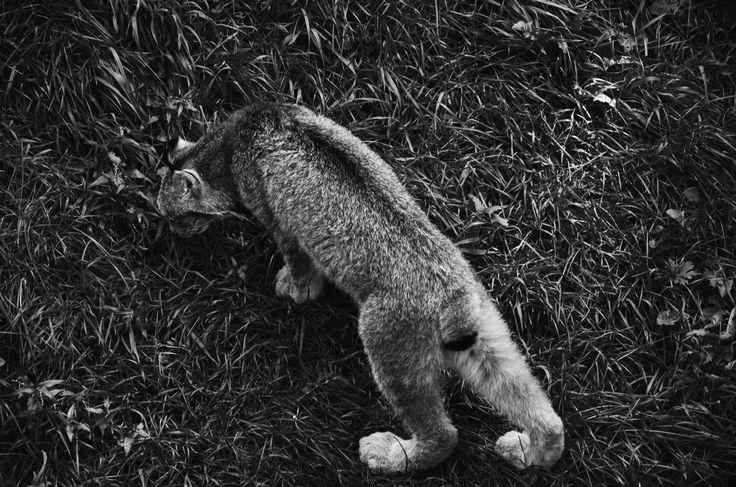 Canada lynx   B&W by Christopher Sauvageau on 500px