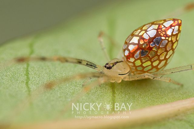 Mirror Spider (Thwaitesia sp.) - Nicky Bay Photography