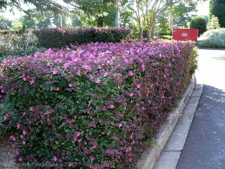 Hedging plant Loropetalum chinense 'China pink' in flower.