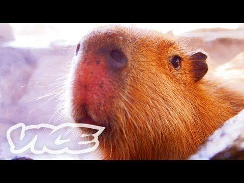 可愛い動物を紹介する番組 The Cute Show。今回は、世界最大のげっ歯類カピバラが可愛く温泉に入る、長崎バイオパークの『カピバラ温泉』をご紹介。 日本最大のカピバラ保有数を誇るバイオパークは、動物たちと直接コミュニケーションが取れる世界的にも珍しい動物園。副園長 伊藤雅男のインタビューとともに、憶病で知ら...