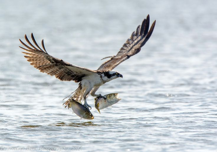 Top 25 ideas about birds osprey on pinterest birds for Fish hawk bird