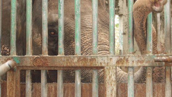 Urgent! Take Action to Save Lonely, Miserable, Elephant Please sign the petition - a sanctuary awaits her but she is being held captive and all alone for too many years :-( take 2 minutes you can make a difference