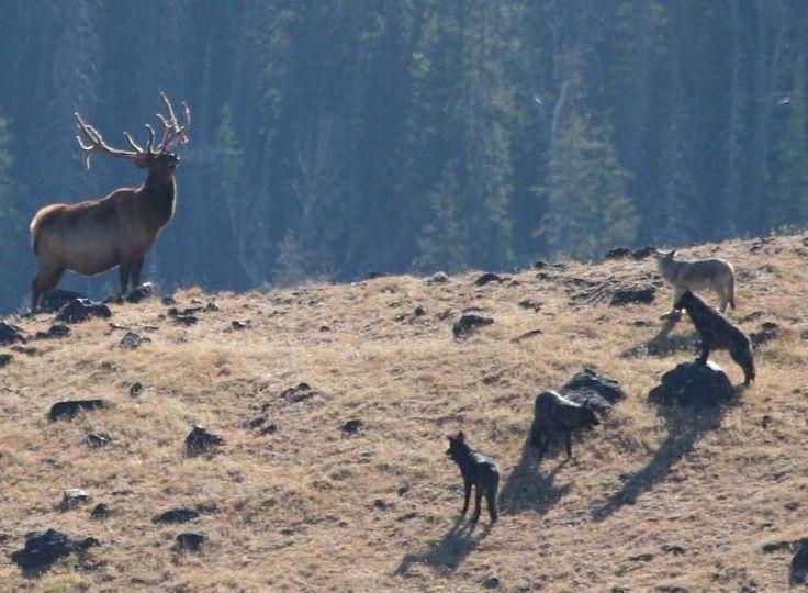 Vidéo: 20 ans plus tard, qu'a changé la réintroduction du loup au Parc Yellowstone?