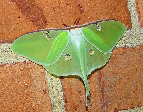 Luna Moth which looks like Indian God -Ganesha !!    This Luna moth seems the zen-kind of fellow, looking remarkably like a green Ganesh, the Indian elephant god and protector from all evils. The The half-closed eye spots and the tuft of white (hair) at the top – this could easily become a favorite! Its habitat is North America from Ontorio to northern Mexico and the warmer the climate, the longer their life span (minimum seven days) and the more generations (one to three) per year.
