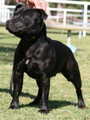 Gallery - Category: Black Staffordshire Bull Terrier - Image: Sparpartner Anastasia