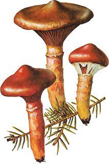 Mantar Avcılığı: ÇAM KABARA /GEYİK MANTARI (Chroogomphus rutilus)