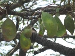 Burkea africana seed pods/wilde of rooi sering