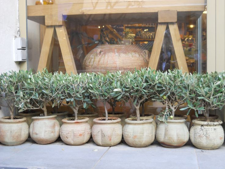 olive plants in jars on display outside store  selling olive oil