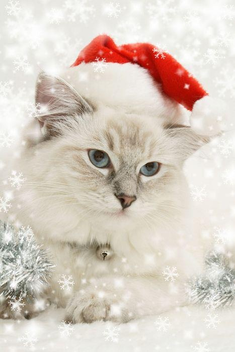 49 best christmas kitties images on pinterest christmas animals what an adorable white christmas cat spiritdancerdesigns Choice Image