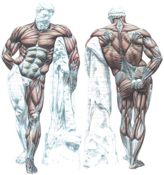 Exercícios para hipertrofia; Nesta área irá poder ter acesso a exercícios para os principais grupos musculares, tais como o peito, deltoides, bíceps tríceps