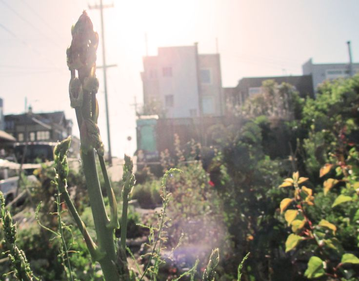Permaculture design and volunteer work in an urban agriculture garden in San Francisco CA.