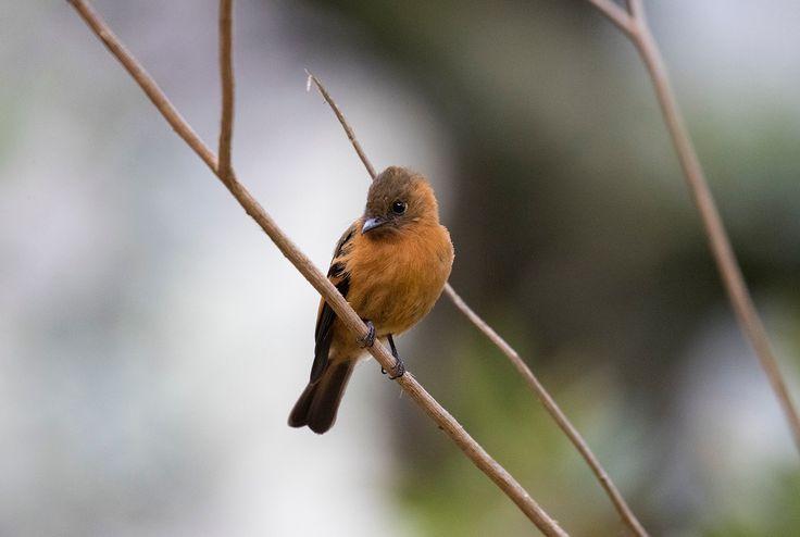 Cinnamon flycatcher - Cinnamon flycatcher near Soata.