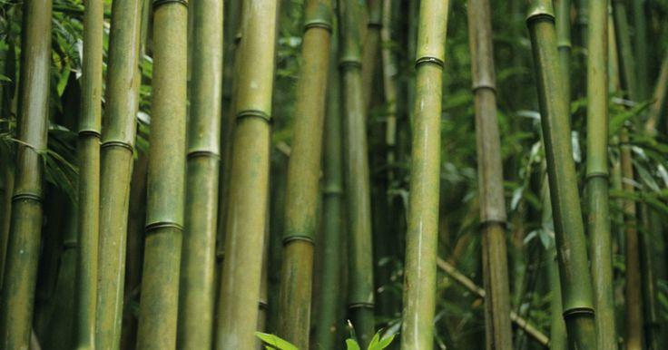 Como transplantar o bambu resistente. O bambu resistente é uma planta de rápido crescimento e fácil de plantar. Ele pode virar uma ótima tela de privacidade para um jardim. As canas colhidas do bambu são fortes e atrativas, podendo ser utilizadas para construções leves, fazer varas de pesca e até mesmo varões de cortina. Esse bambu é fácil de transplantar.
