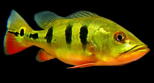Freshwater Fish Species | Freshwater fish, Tropical ...