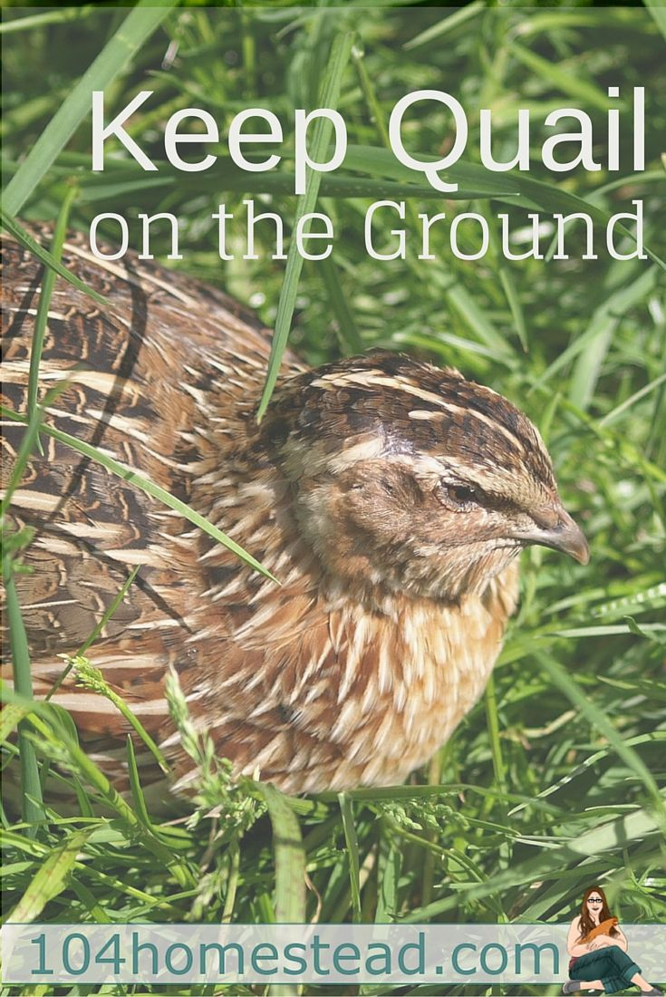 The vision I wanted was for my quail to roam on the ground in the grass hunting for bugs, much like they would do if they were living in the wild.