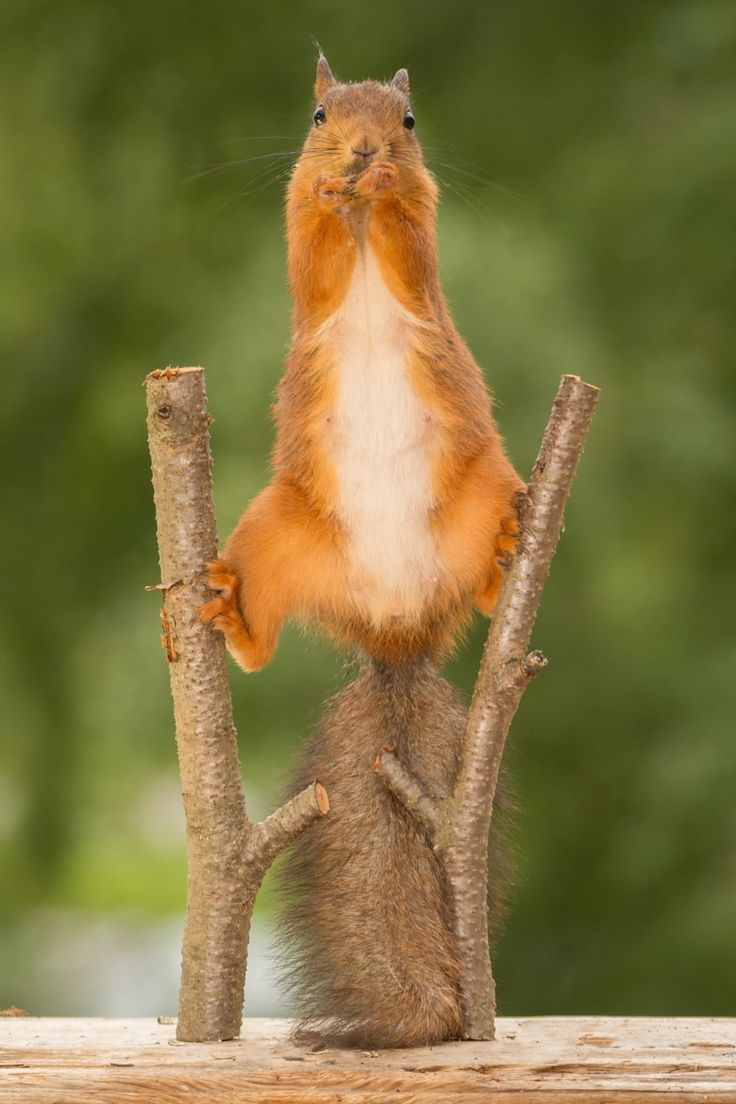 ~~stilts |female red squirrel standing on a two tree branches |   by Geert Weggen~~: