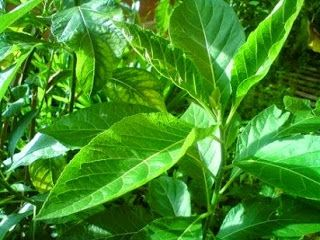 Memanfaatkan di sekitar yg ada: daun afrika dengan 25 manfaa'at