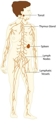 A Healthy Lymphatic System for a Healthy You  The key to improving your body's immune function is to nourish your lymphatic system. Sometimes referred to as the body's secondary circulatory system, the lymphatic system carries away toxins and metabolic waste from the body's tissues. The lymphatic system is made up of lymph vessels, lymph … Continue reading August 2014 →