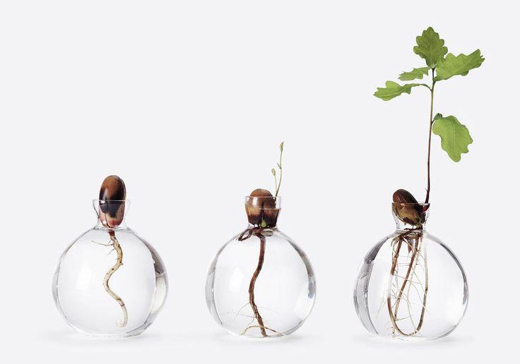 Det är något visst med att ha en växande ekollonplanta på fönsterbrädan. Här är allt du behöver veta för att lyckas.