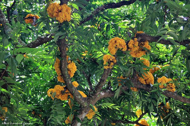 Saraca cauliflora (Saraca thaipingensis) - Yellow Saraca, Fabaceae