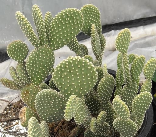 Opuntia microdasys -v- Albispina | Cactus King