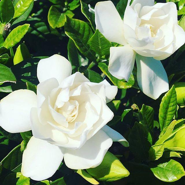 Color おしゃれまとめの人気アイデア Pinterest Matuda 2020 白い花 クチナシ 庭 木