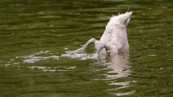 วีดีโอน่ารักๆ Swan  Duck  ass big