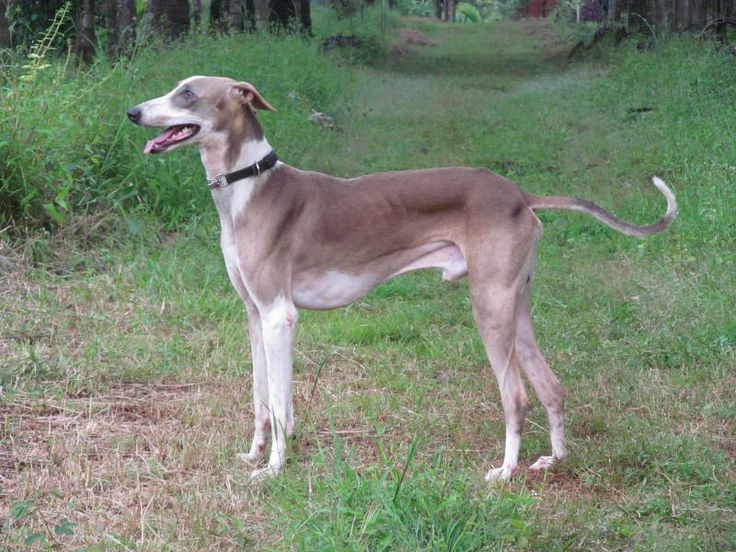 Saluki Dog For Sale In Pune