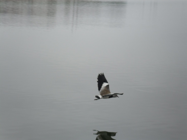 Queltehue en Humedal Laguna de Zapallar, comuna Puchuncavía, zona norte Provincia de Valparaíso, Chile http://www.demirar.cl/2011/03/%C2%BFquien-es-mi-vecino-escamas-y-mil-plumas/