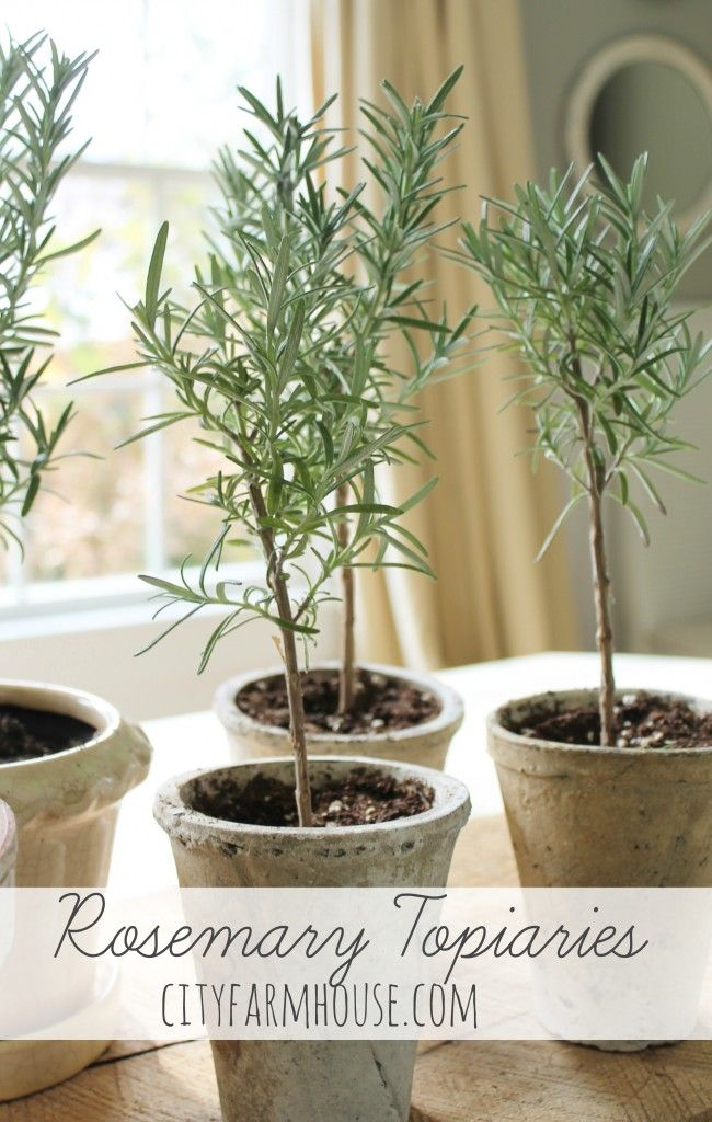 Rosemary topiaries: 1. Take clippings, trim leaves from the stem off the bottom and set in water. Change water often leave until you get roots. 2. Take your pots and fill the bottoms with rocks for drainage.3. Fill bottom with potting soil then add your rooted Rosemary - add more soil. Press soil lightly water.Place in sun. Trim as needed.