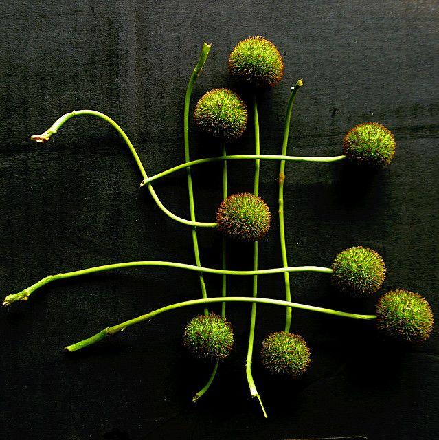 sycamore | seed | Flickr : partage de photos !