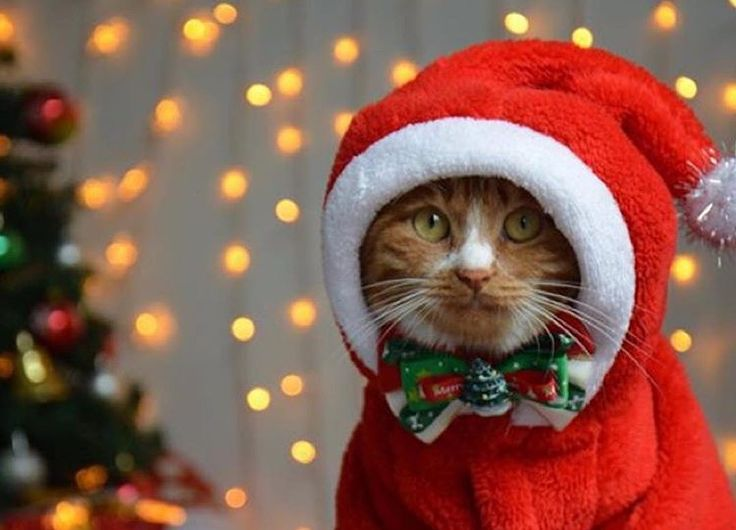 Ginger Cat Looking so Adorable in That Christmas Outfit.