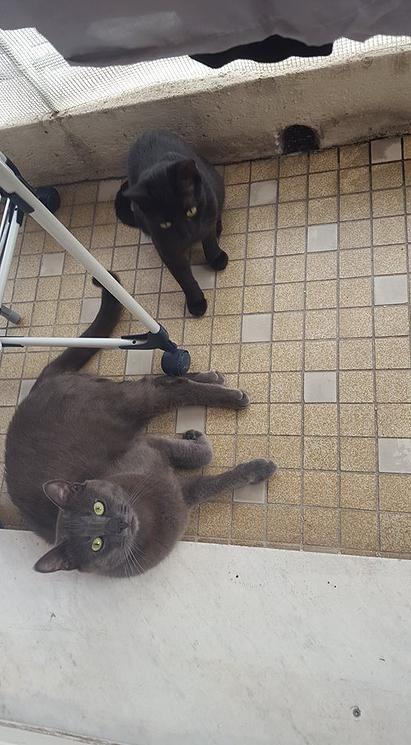 PUFY/KITTY chats mâle et femelle, 1.5 ans et 6 mois. Nice (06)